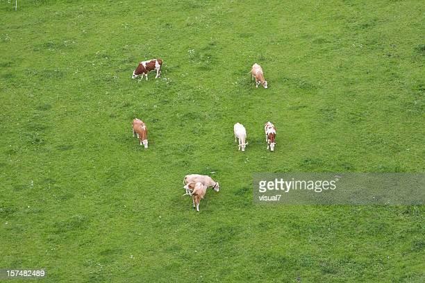 cows, top view - bovenste deel stockfoto's en -beelden