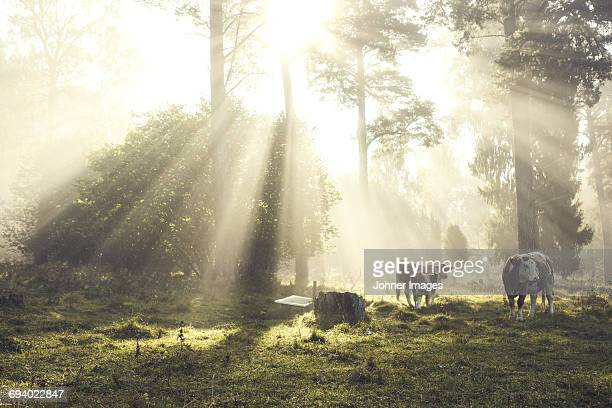 cows under trees - durability stock photos and pictures