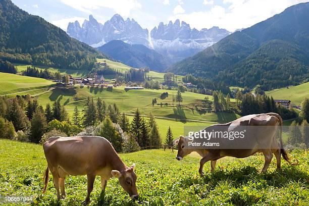 cows, val di funes, st magdalena, dolomites, italy - pascolo foto e immagini stock