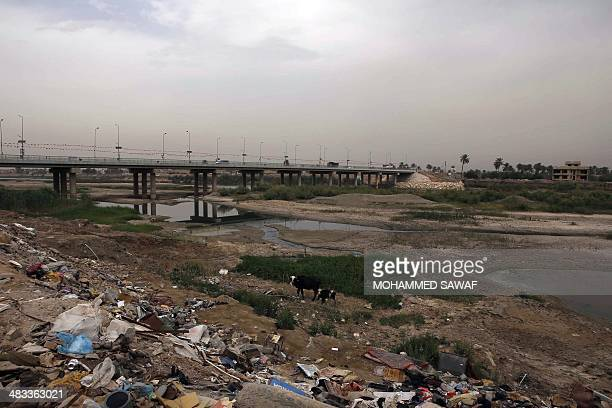 Cows walk along the rubbish strewn banks of the Euphrates river in Twairij, roughly 20 kilometres east of Karbala, where water levels have declined...