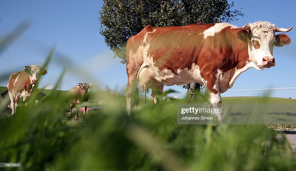Cows walk home from the pasture on July 30, 2007 near Steingaden, Germany. German milk producers have announced they will raise prices on milk and milk products starting July 31 nationwide by as much as 50%.