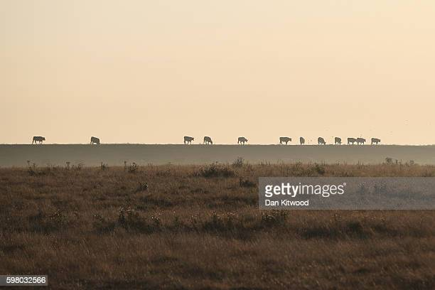 Cows walk on a river bank on the Isle of Grain on August 31 2016 in Isle of Grain England The Isle of Grain is the easternmost point of the Hoo...