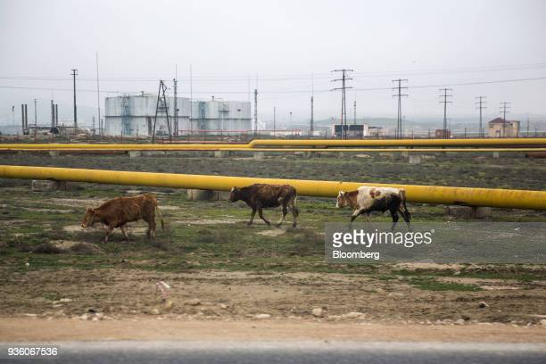 Cows walk past an oil pipeline in Baku Azerbaijan on Sunday March 18 2018 Two years after descending into junk Azerbaijan's shortest path to winning...