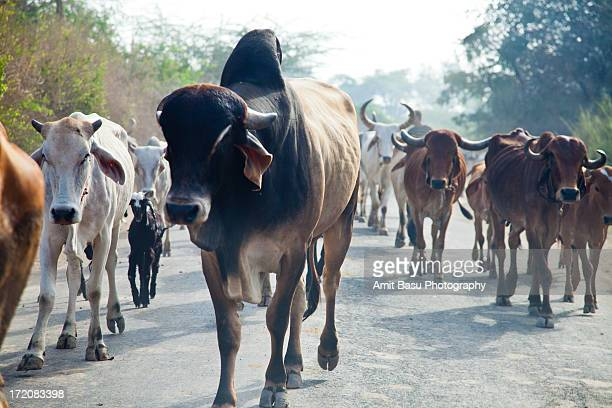 cows walk the street, india - amit basu stock pictures, royalty-free photos & images
