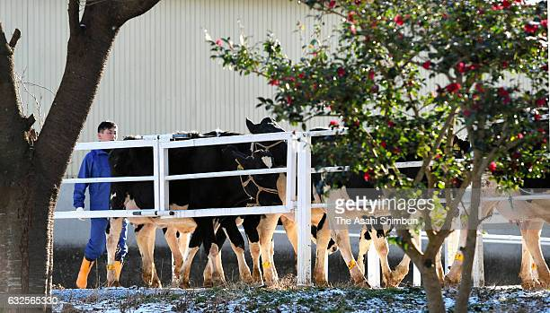 Cows walk to a milking facility at Hiruta dairy farm on January 24 2017 in Naraha Fukushima Japan About 400 liters of unpasteurized milk were...