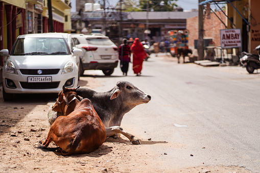 cows walking freely among people and vehicles through the streets of Pushkar 1271527585