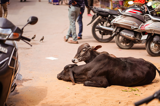 cows walking freely among people and vehicles through the streets of Pushkar 1271527609
