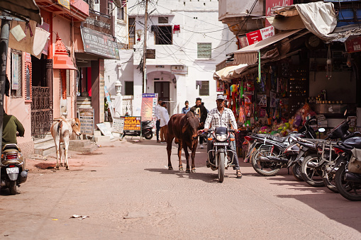 cows walking freely among people and vehicles through the streets of Pushkar 1271527655