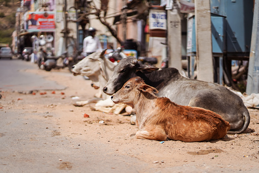 cows walking freely among people and vehicles through the streets of Pushkar 1271527824