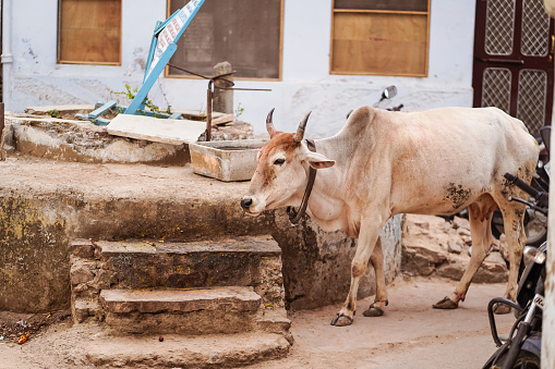 cows walking freely among people and vehicles through the streets of Pushkar 1271527947