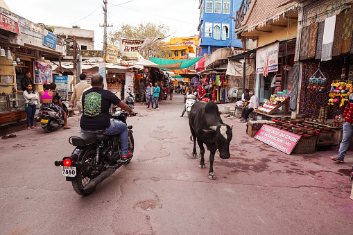 cows walking freely among people and vehicles through the streets of Pushkar 1271554901