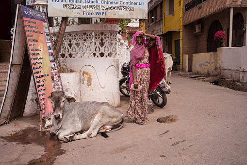 cows walking freely among people and vehicles through the streets of Pushkar 1271555152