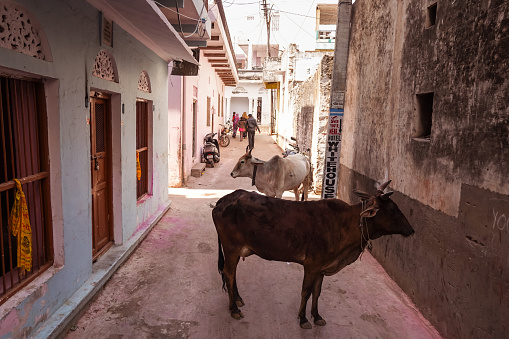 cows walking freely among people and vehicles through the streets of Pushkar 1271555267