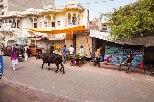 cows walking freely among people and vehicles through the streets of Pushkar 1271555419