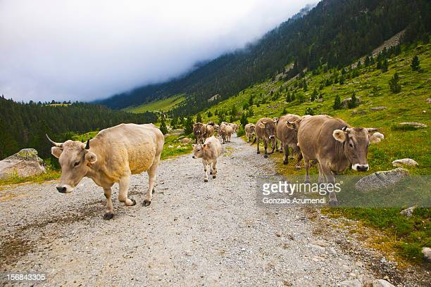 Cows walking in Catalan Pyrenees.