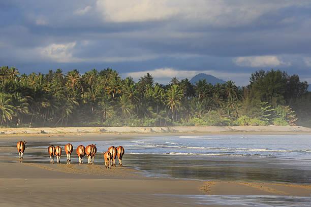 Cows Walking on Beach