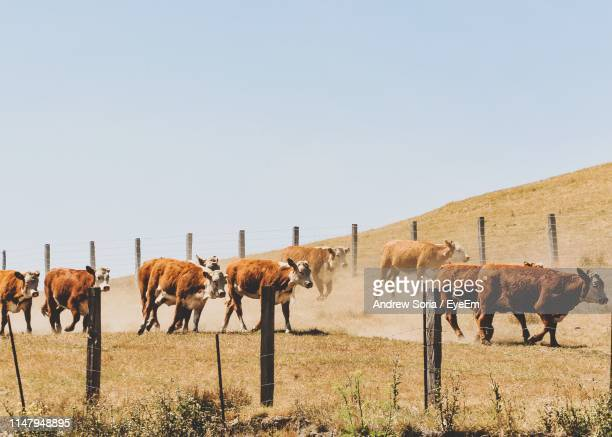 Cows Walking On Field Against Clear Sky