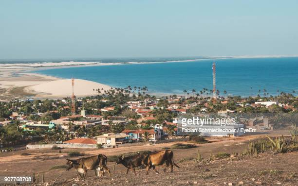 cows walking on field against clear sky - barreirinhas stock pictures, royalty-free photos & images