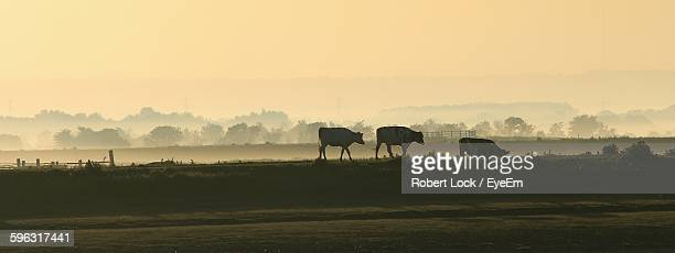 Cows Walking On Field