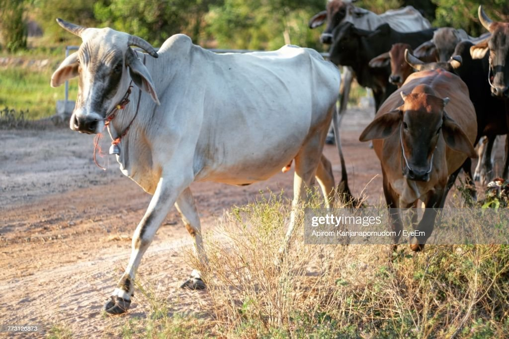 Cows Walking On Field : Stock Photo