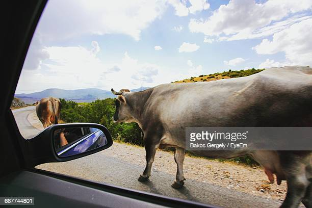 Cows Walking On Road Seen Through Car Window
