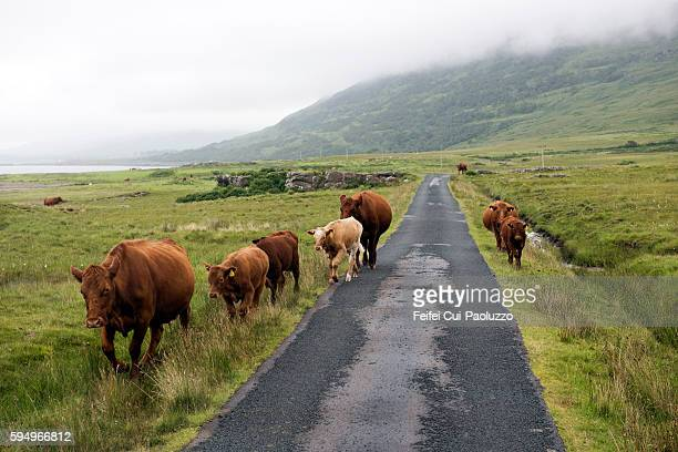 Cows walking on the country road near knock at Isle of Lewis in Scotland