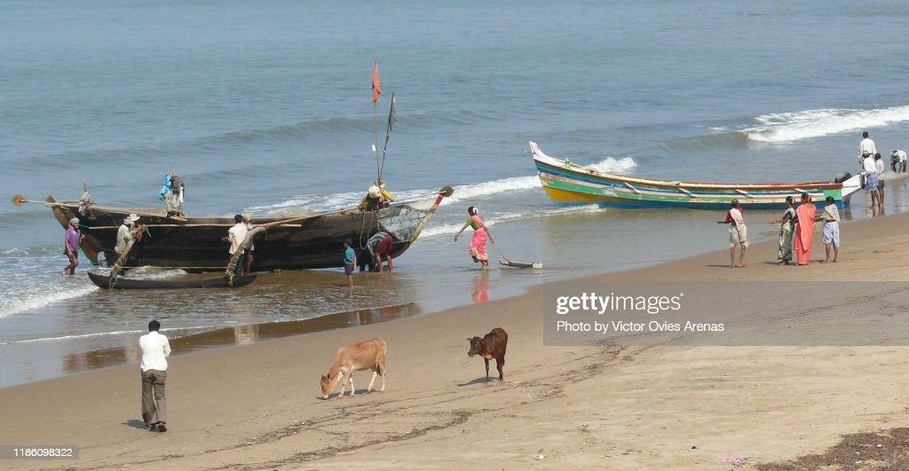 Cows walking on the sand as local fishermen push their fishing boats ashore in Gokarna, Karnataka, India : Foto de stock