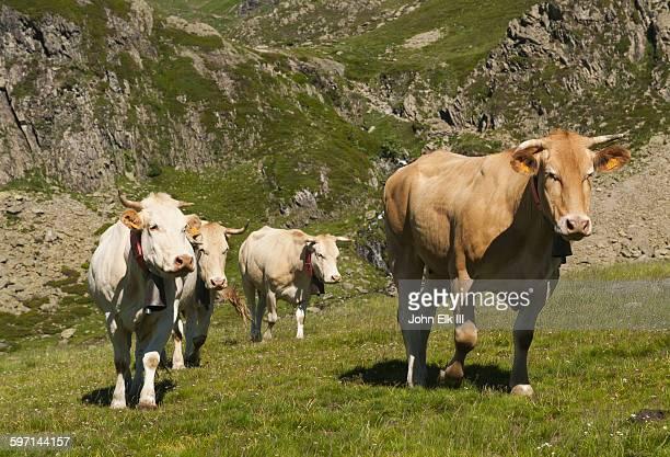 Cows wearing bells