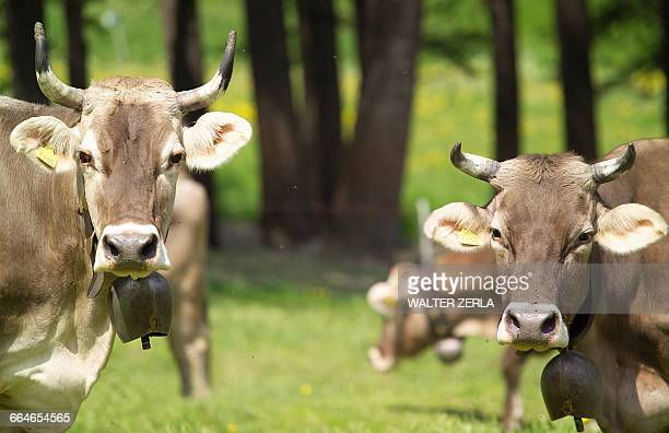 Cows wearing cow bells looking at camera, Swiss Alps, Switzerland