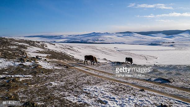 Cows With Snowcapped Mountain