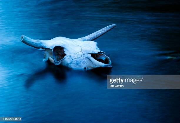 cowskull cyanotype - ian gwinn stock pictures, royalty-free photos & images
