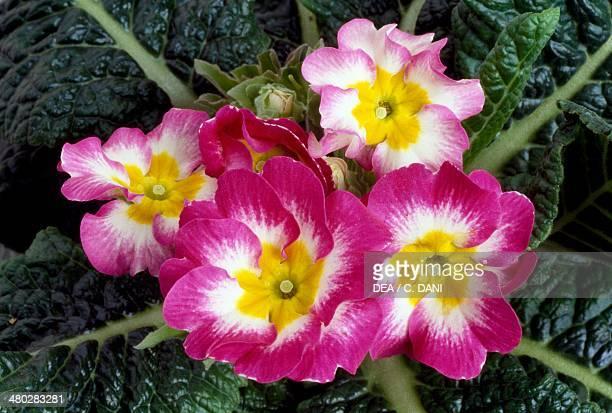 Cowslip common cowslip Primulaceae