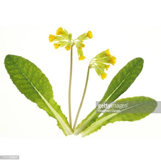 cowslip flowers with leaves in white square. - fleurs des champs photos et images de collection