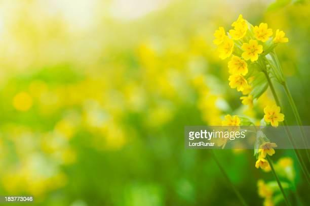 Wiesenschlüsselblume in bloom