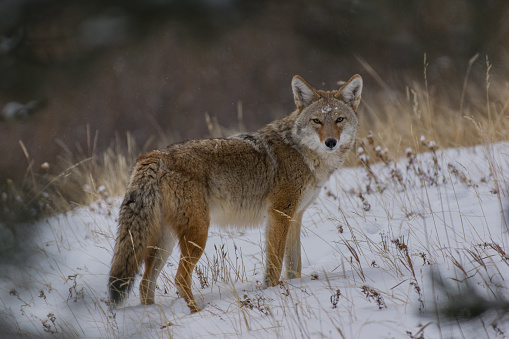 Coyote after a Snowstorm 639619676