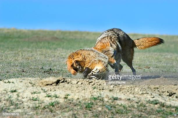 coyote and badger fight over prey - coyote stock pictures, royalty-free photos & images
