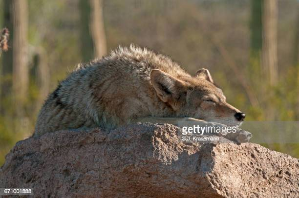 Coyote asleep on a boulder at the Arizona Sonora Desert Museum.