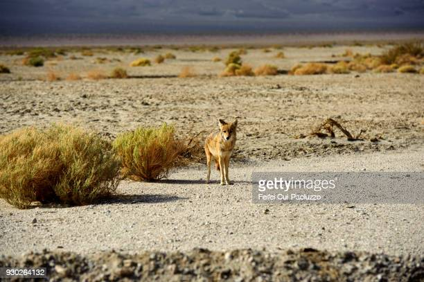 coyote at death valley, california, usa - coyote stock pictures, royalty-free photos & images