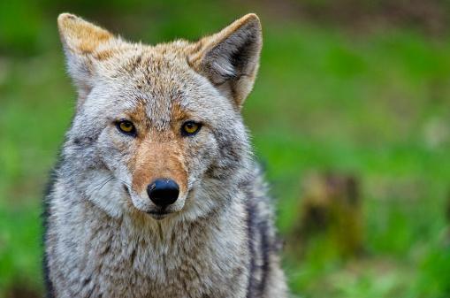Coyote - Canis latrans 467029058