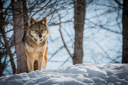 Coyote - Canis latrans- Watching For Its  Prey 914340246