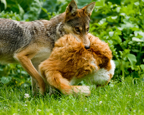 Coyote carrying Cat 93419185