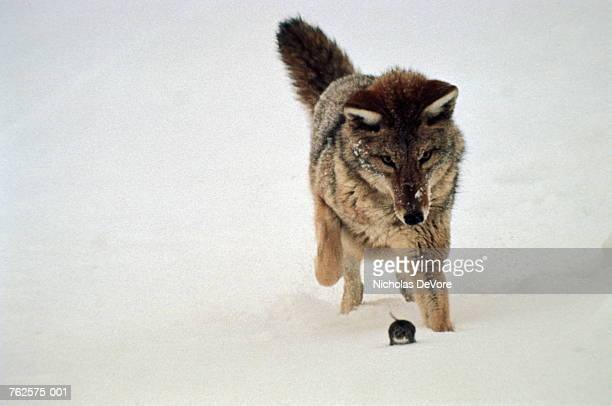 Coyote (Canis latrans) chasing mouse in snow, Wyoming,USA