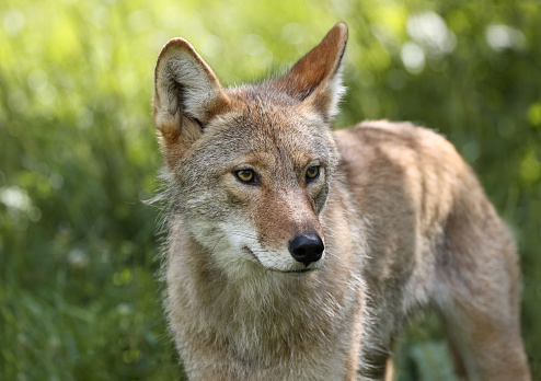 coyote during spring 626705522