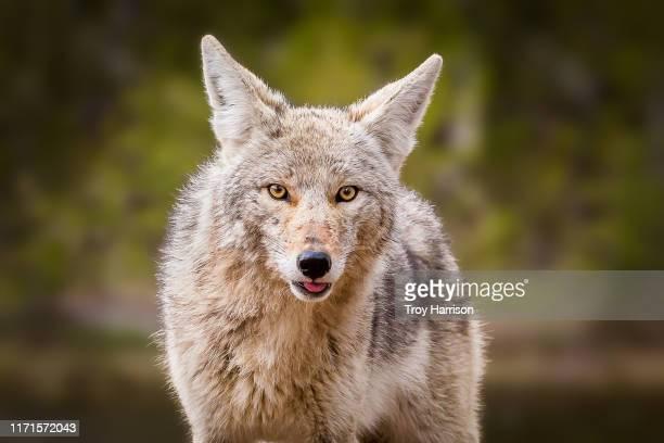 coyote face - coiote imagens e fotografias de stock