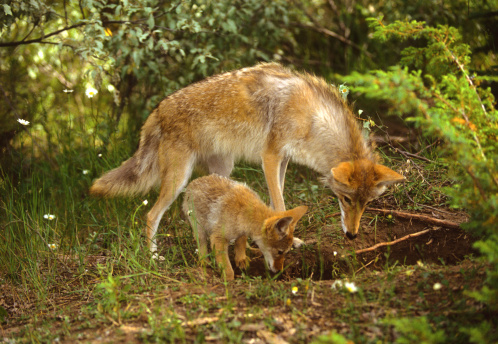 Coyote Female and Pup at Den 119866540