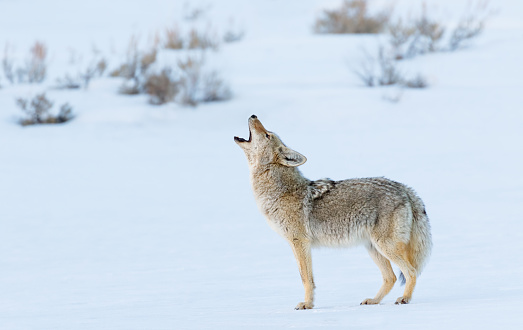 Coyote Howling in Winter 521387190