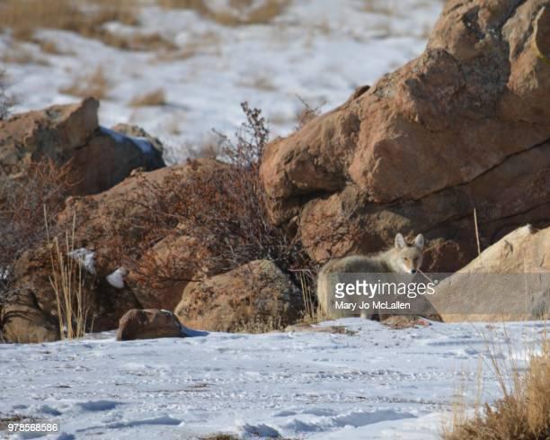 coyote hunting in winter - jo wilder stock-fotos und bilder