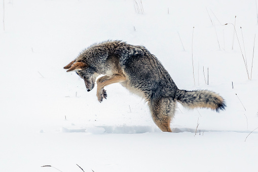 Coyote hunting 1131905004