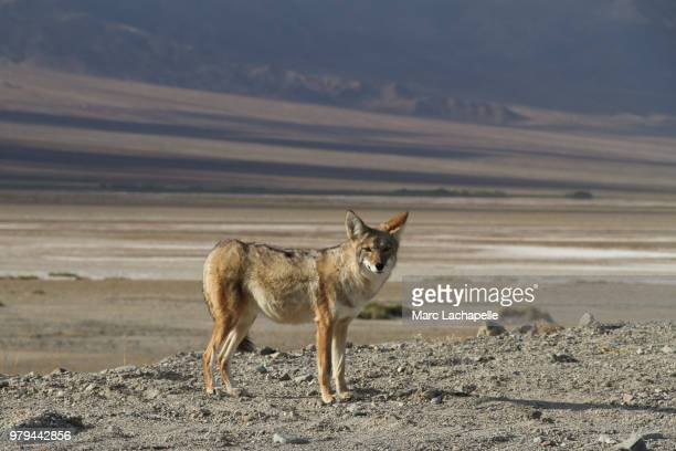 coyote (canis latrans) in death valley national park, california, usa - coyote stock pictures, royalty-free photos & images