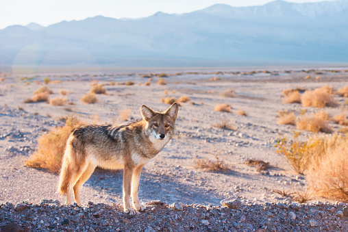 Coyote in Death Valley 472118285